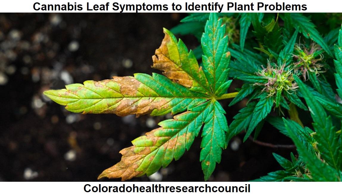 cannabis leaf symptoms